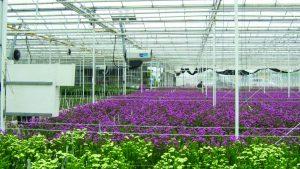 Nagrzewnice gazowe Winterwarm ECO na holenderskiej uprawie roślin pod osłoną.