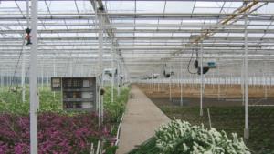 Nagrzewnice gazowe Winterwarm DXC ECO na holenderskiej uprawie roślin pod osłoną.